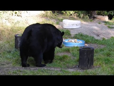 rencontre ours canada)